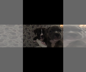 American Bully Mikelands  Puppy for sale in JACKSON, TN, USA