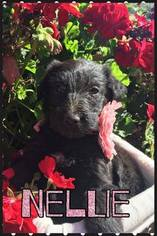 Shepadoodle Puppy For Sale in RIMERSBURG, PA, USA