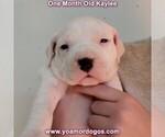 Small #41 Dogo Argentino