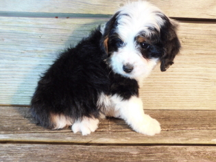View Ad: Miniature Bernedoodle Puppy for Sale near Ohio