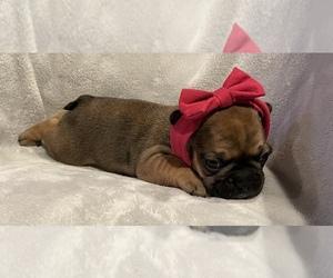 French Bulldog Puppy for Sale in MANTECA, California USA