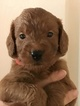Goldendoodle Puppy For Sale in LINCOLN, CA,