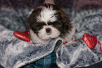 Shih Tzu Puppy For Sale in KENT, OH, USA