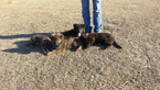 German Shepherd Dog Puppy For Sale in VIDALIA, GA, USA
