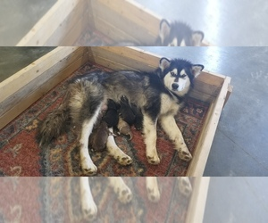Alaskan Malamute Puppy for Sale in POWELL, Wyoming USA