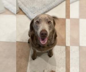 Labrador Retriever Puppy for sale in AMERICAN CANYON, CA, USA