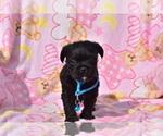 Puppy 4 Pug-A-Poo
