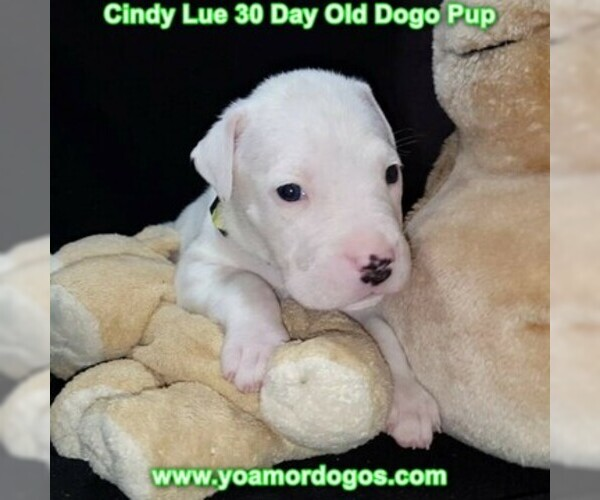 Medium Photo #51 Dogo Argentino Puppy For Sale in PINEVILLE, MO, USA