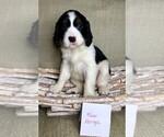 Puppy 3 English Springer Spaniel
