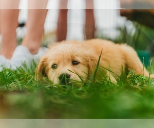 Golden Retriever Puppy for sale in SEBREE, KY, USA