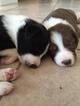 Border Collie Puppy For Sale in MESA, AZ, USA