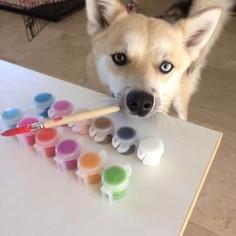 Pomsky Puppy For Sale in MIAMI, FL, USA