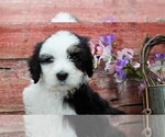 Puppy 5 Sheepadoodle