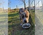 Puppy 4 American Bulldog-American Staffordshire Terrier Mix
