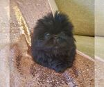 Puppy 2 Pekingese