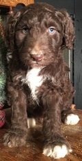 Aussiedoodle Dog for Adoption in ARBA, Indiana USA