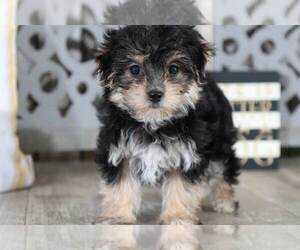 Morkie Puppy for Sale in MOUNT VERNON, Ohio USA