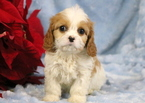 Cavachon Puppy For Sale in MOUNT JOY, PA,