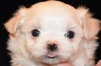 Maltese Puppy For Sale in LAKE STEVENS, WA, USA