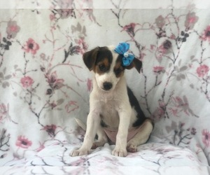 Australian Cattle Dog-Shetland Sheepdog Mix Puppy for sale in LAKELAND, FL, USA