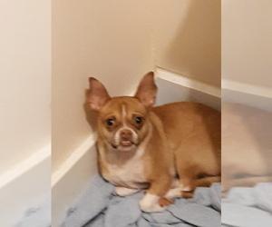 Chihuahua Puppy for sale in DAVIS CROSSROADS, SC, USA