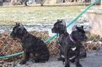 Cane Corso Puppy For Sale in GROVE CITY, OH, USA