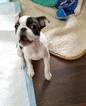 Boston Terrier Puppy For Sale in GATE, WA, USA
