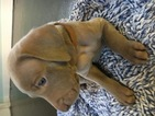 Weimaraner Puppy For Sale in HOWARD CITY, MI,