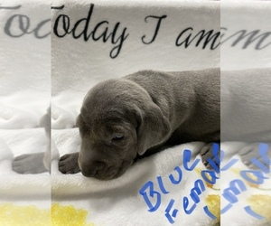 Weimaraner Puppy for Sale in YULEE, Florida USA