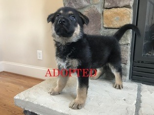 German Shepherd Dog Puppy For Sale in MOORESVILLE, NC, USA