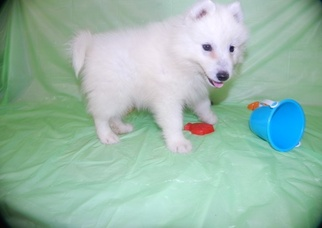 Samoyed Dog For Adoption in NEW YORK, NY, USA