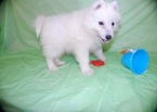 attentive  Samoyed puppies