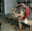 Small Photo #6 American Bully Puppy For Sale in BOULEVARD, NY, USA
