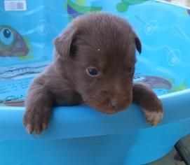 Australian Shepherd Puppy For Sale in HIGH POINT, NC, USA