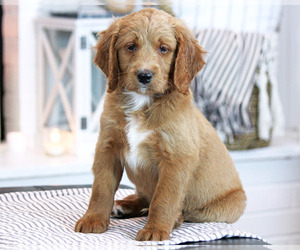 Goldendoodle (Miniature) Puppy for sale in EPHRATA, PA, USA