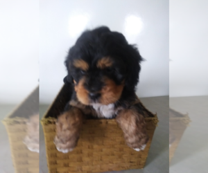 Bernedoodle Puppy for sale in INDIANAPOLIS, IN, USA