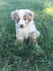 Australian Shepherd Puppy For Sale in GRANBURY, TX