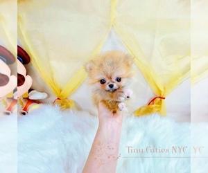 Pomeranian Puppy for sale in ASTORIA, NY, USA