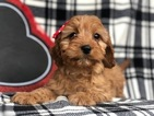 Small #5 Cavapoo