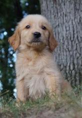 Golden Retriever Puppy For Sale near 46580, Warsaw, IN, USA