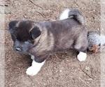 Small Photo #1 Akita Puppy For Sale in LAKEBAY, WA, USA