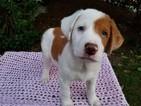 Australian Cattle Dog-Border Collie Mix Puppy For Sale in AUBURN, WA, USA
