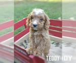 Puppy 6 Cavapoo