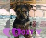 Puppy 1 Morkie-Yorkshire Terrier Mix