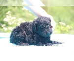 Small #27 Poodle (Standard)