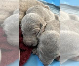 Weimaraner Puppy for Sale in WILLITS, California USA