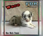 Waco Mini Blue Merle Female Aussie