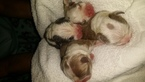 Boston Terrier Puppy For Sale in SEDAN, KS