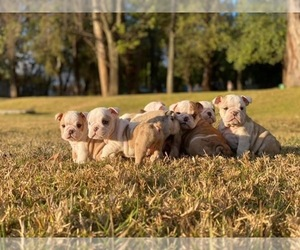 English Bulldog Puppy for sale in HAYWARD, CA, USA