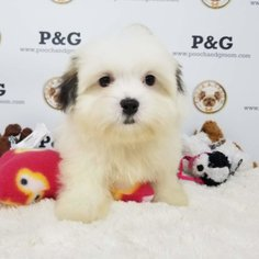 Mal-Shi Puppy for sale in TEMPLE CITY, CA, USA